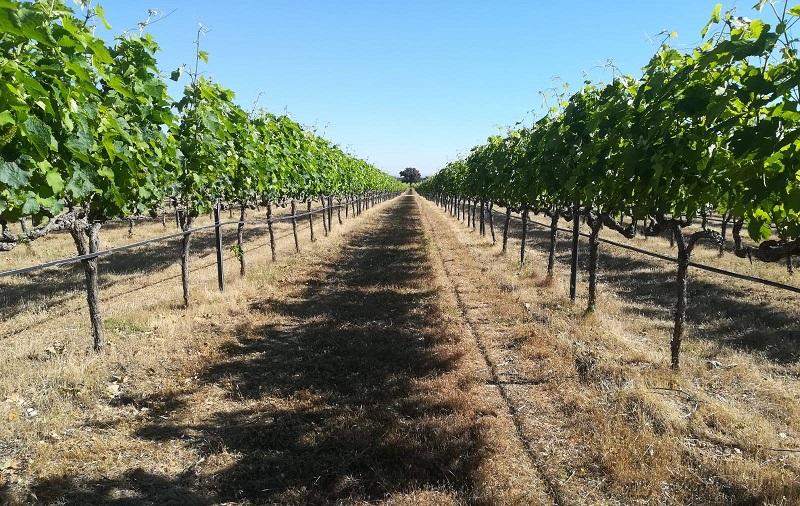 Vinos Castilla La Mancha - Uvas