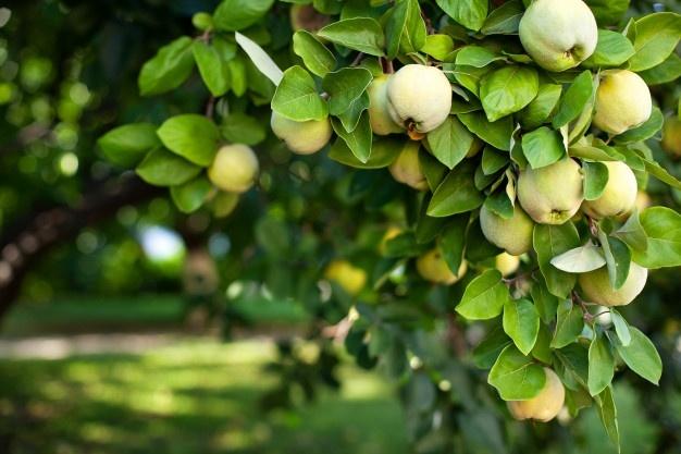 arbol-membrillo-anchacastilla