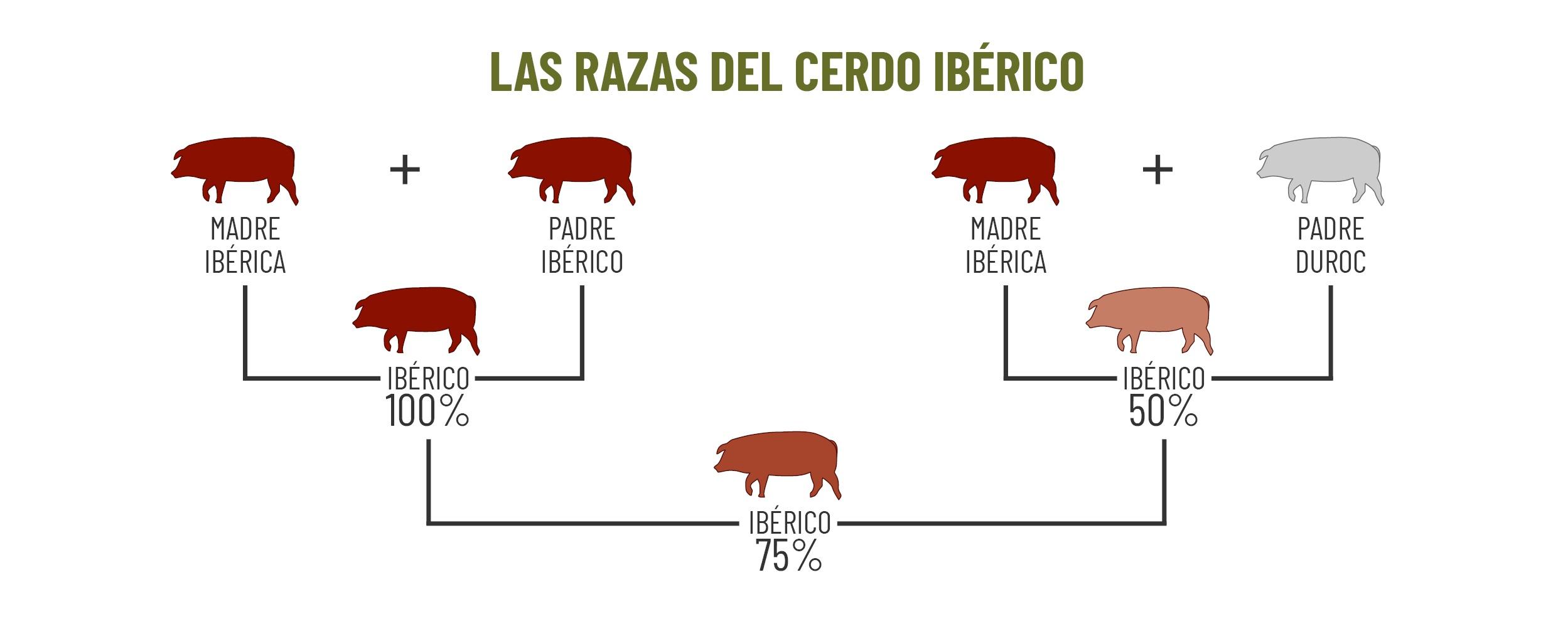 ancha castilla - razas de cerdo iberico