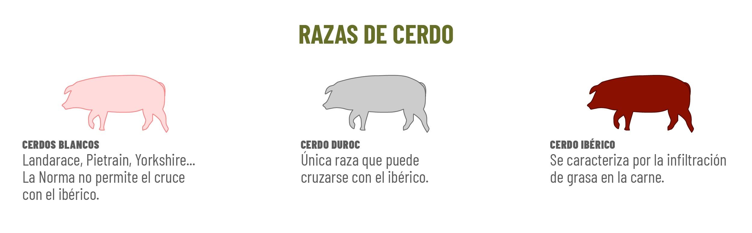 ancha castilla - razas de cerdo